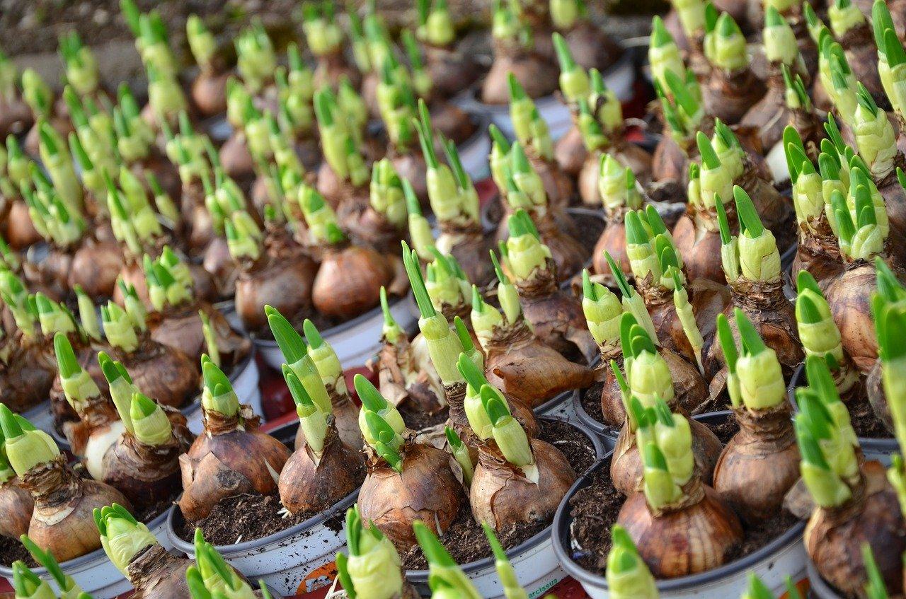Blumenzwiebeln pflegen – diese Regeln sollen Sie beachten