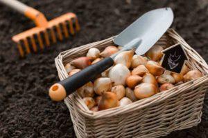 Frühjahrsblüher – Tipps zur Überwinterung
